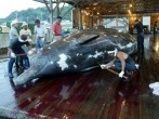 Whale Hunting In Japan Continues Amidst Criticism