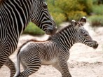 Newborn Zebra At The San Diego Zoo