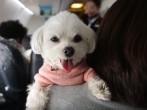Japan: Japan Airlines offers a pet-friendly plane for dog owners
