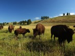 Bison reintroduction