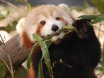 Red Panda Named Sunny Missing From Virginia Zoo