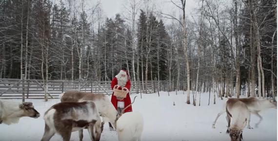 Reindeer of Santa Claus in Lapland Finland - secrets of Father Christmas' reindeer in Rovaniemi