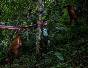 Indonesia's Orangutans Battle With Deforestation