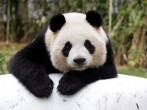 Giant chinese panda