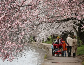 Washington D.C.'s Cherry Blossoms Begin To Bloom