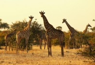 A tower of giraffes at sunrise in the Mashatu game reserve on July 27, 2010 in Mapungubwe, Botswana. Mashatu is a 46,000 hectare reserve located in Eastern Botswana where the Shashe river and Limpopo river meet.