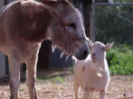Mr. G the goat and Jellybean the donkey together again