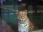 circa 1961: A jaguar with a rich yellow coat and black spots in captivity