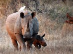 A newly born White Rhinoceros walks with it's mother in the Kruger National Park on July 7, 2013 in Lower Sabie, South Africa.
