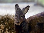 The Afghan fanged deer has returned after more than 60 years