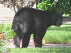 A black bear was hit in Florida, causing three deaths and four injured