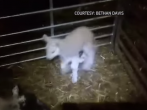 Five-legged lamb born in Wales was named Jake