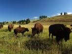 Bison reintroduction