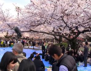 Cherry Blossoms in Tokyo - Ueno Park