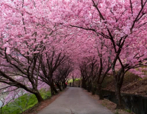 The Most Beautiful Sakura Cherry Flower Blossoms, Japan