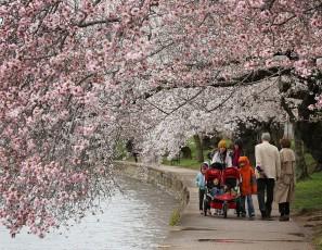 Washington D.C.'s Cherry Blossoms Begin To Bloom