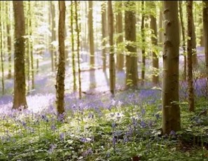 Exciting Belgium Destinations -- Bluebell Forest