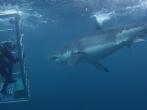 18-Foot Shark Attacks Cage | Great White Serial Killer