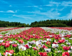 Brace yourself for large crowds, long lines Want to see the poppy super bloom in California?