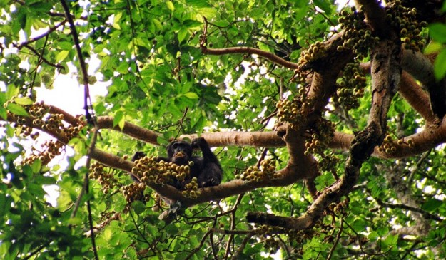 Experience  an amazing world's wildlife: Seeing chimpanzees in the African country an amazing experience